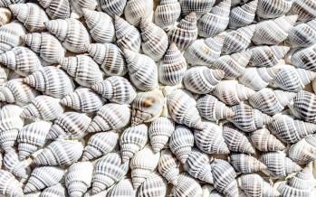Nei molluschi giganti la chiave per super celle solari