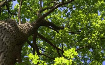 Querce e betulle: ecco gli alberi che abbattono l'effetto serra