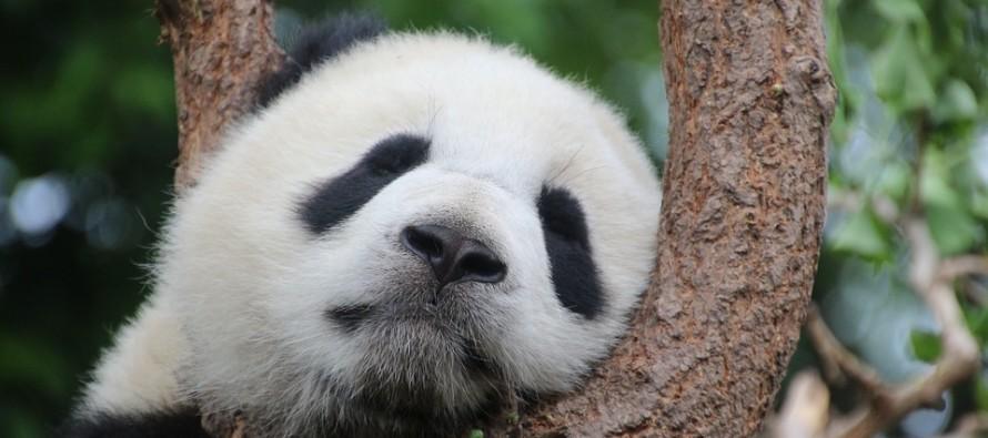 Un impianto solare a forma di panda: succede in Cina
